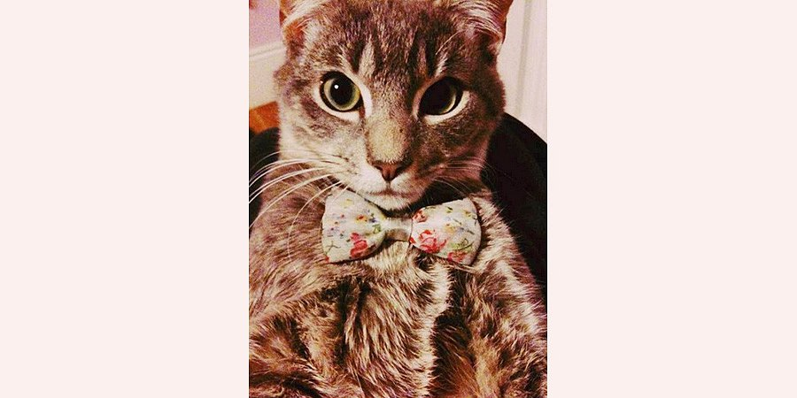 cat-in-bow-tie-900-px.jpg
